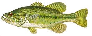 Fishing_yellowbass.jpg