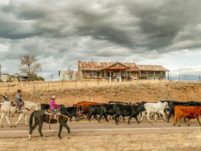 Good Old Fashioned Cattle Drive In Young, Arizona