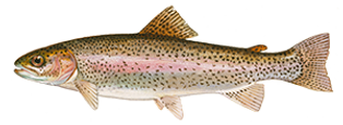 fishingspecies_rainbow-trout.png