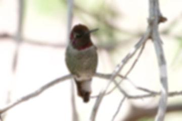 Birding_GilaCounty_Anna's Hummingbird.jp