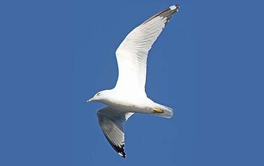 Birding_GilaCounty_Ring-billed-Gull2.jpg