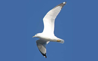 Birding_GilaCounty_Ring-billed-Gull2.jpg