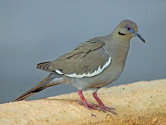 Birding_GilaCounty_White-Winged Dove.jpg