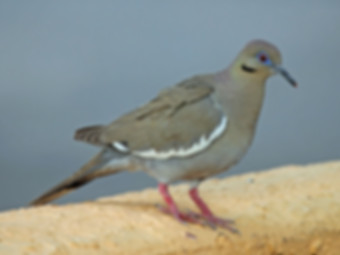 Birding_GilaCounty_White-Winged Dove.jpg