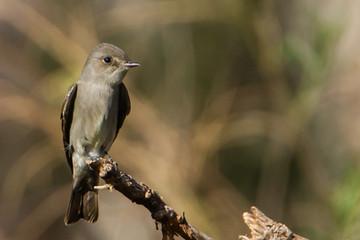 Birding_GilaCounty_Western Wood Peewee.j