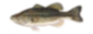 fishingspecies_largemouthbass.png