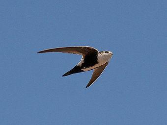 Birding_WhiteThroughtedSwift.jpg