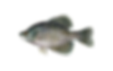 fishingspecies_blackcrappie3.png