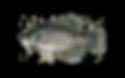 fishingspecies_blackcrappie3.png