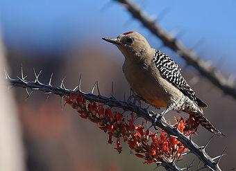 Birding_GilaCounty_GilaWoodpecker.jpg