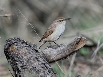 Birding_GilaCounty_RockWren.jpg
