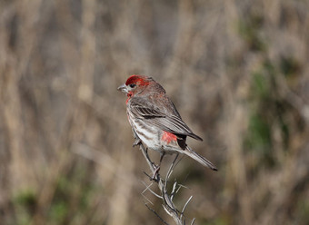 Birding_GilaCounty_HouseFinch.jpg