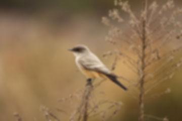 Birding_GilaCounty_SaysPhoebe.JPG