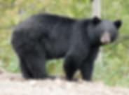 GilaCounty_HuntingUnit22_SanCarlos_bear.