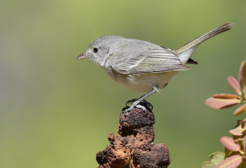 Birding_GilaCounty_Bells' Vireo.jpg