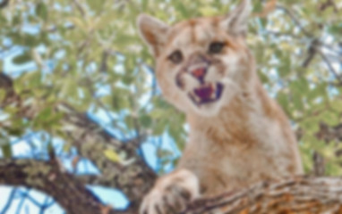 GilaCounty_HuntingUnit22_MountainLion.jp