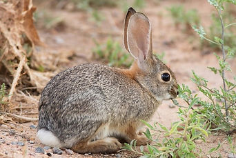 Hunting_CottonTail.jpg