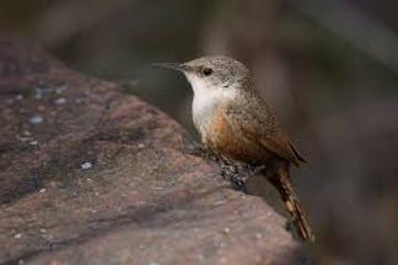 Birding_GilaCounty_CanyonWren.jpg