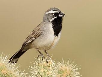 Birding_GilaCounty_BlackthroatedSparrow.
