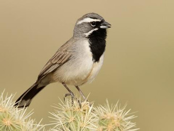Birding_GilaCounty_BlackthroatedSparrow.