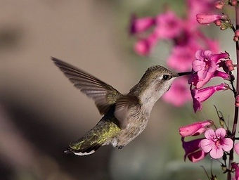 Birding_GilaCounty_CostasHummingBird.jpg