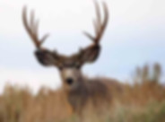 Hunting_MuleDeer.jpg