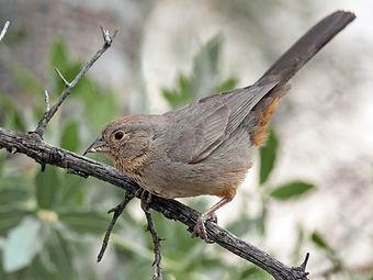 Birding_GilaCounty_CanyonTowhee.jpg
