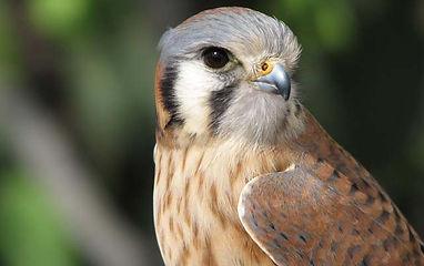 Birding_GilaCounty_American-Kestrel.jpg