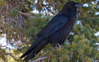 Birding_GilaCounty_CommonRaven.jpg