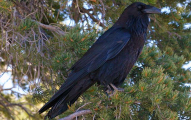 Birding_GilaCounty_CommonRaven.jpg