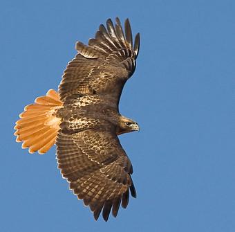 Birding_GilaCounty_RedTailedHawk.jpg