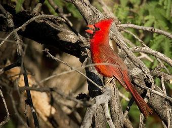 Birding_GilaCounty_Cardinalis cardinalis