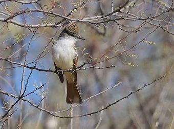 Birding_GilaCounty_Ash-Throated Flycatch