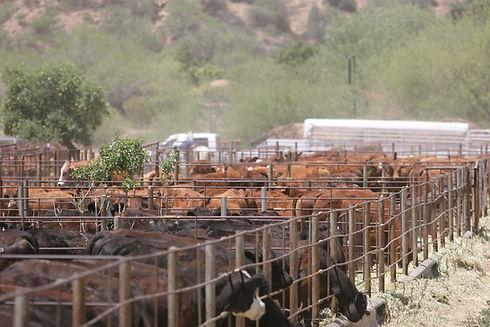 industry_cattle.jpg