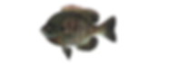 fishing_bluegill2.png