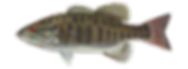 fishingspecies_smallmouthbass.png
