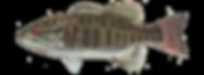 fishingspecies_smallmouthbass.png