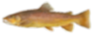 fishingspecies_browntrout.png