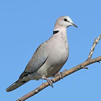 Birding_GilaCounty_Eurasian Collard Dove