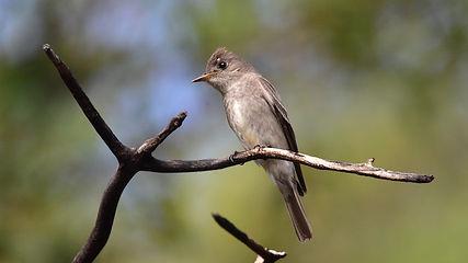 Birding_GilaCounty_Greater Peewee.jpg