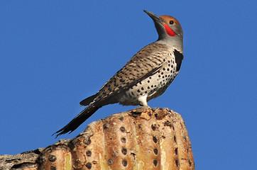 Birding_GilaCounty_Gilded Flicker.jpg