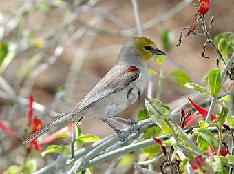 Birding_GilaCounty_Verdin.jpg