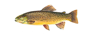 fishingspecies_ApacheTrout.png