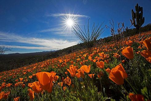 Peridot Poppies