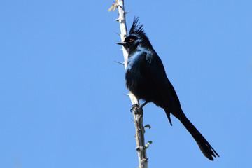 Birding_GilaCounty_Phainopepla.jpg