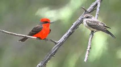 Birding_GilaCounty_vermilion_flycatcher2