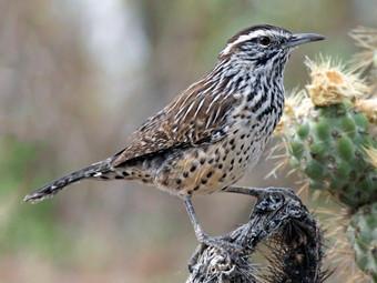Birding_GilaCounty_CactusWren.jpg