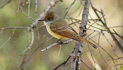 Birding_GilaCounty_dusky-capped flycatch