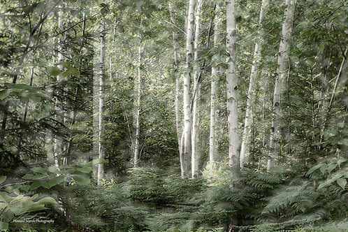 Boothbay Birches by Howard Search
