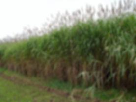 pousse plantantion miscanthus champs